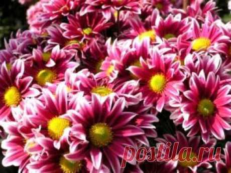 Хризантема многолетняя посадка и уход полив удобрения размножение Хризантема уникальный цветок который используют при посадке и уходе в открытом грунте, а также при выращивании в домашних условиях и любуются их цветением
