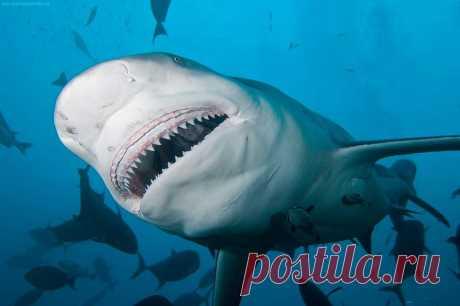 Несмотря на то, что рацион большинства акул состоит из морских млекопитающих, рыбешек и морских птиц, это не мешает зубастым хищницам нападать на людей.…