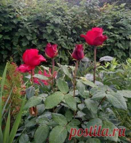 Как я размножаю свои розы | Сад в городе | Яндекс Дзен