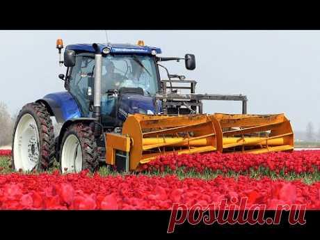 Как выращивают тюльпаны в Голландии. Нет слов, одни эмоции!