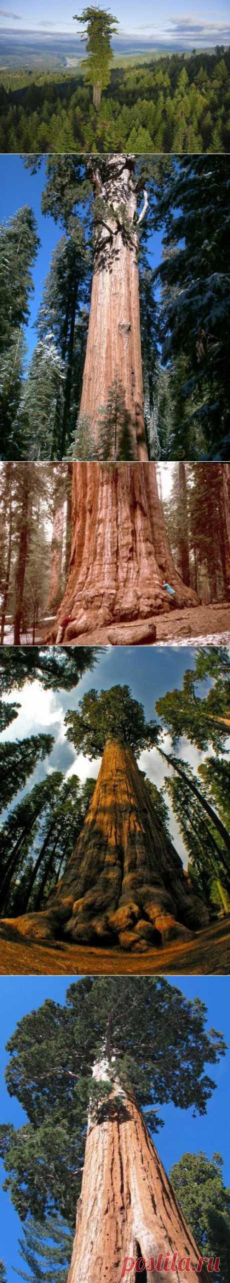 Самые высокие деревья мира / Туристический спутник