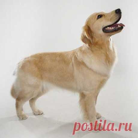 Порода Золотистый ретривер - фото, характер, уход, дрессировка, болезни, цена собаки