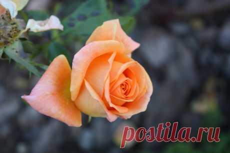 Укрываем розы правильно! - Садоводка