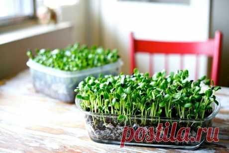 Микрозелень в домашних условиях: как вырастить микрозелень В последнее время у сторонников здорового образа жизни на пике популярности выращивание микрозелени. Эта модная тенденция здорового питания заключается в употреблении в пищу молодых ростков овощных культур, злаковых и многих видов зелени. Богатые витаминами и минералами, они укрепляют иммунитет человека и становятся отличной профилактикой заболеваний сердца, нервной системы, помогают выводить токсины из организма, ...