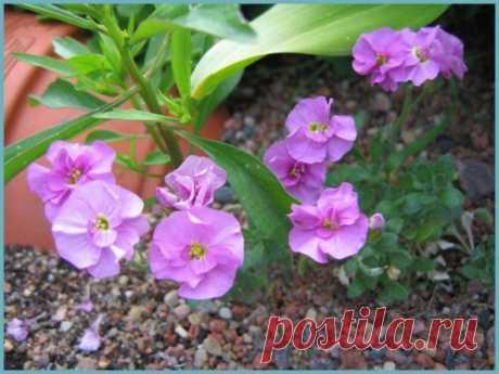 Обриета: посадка и уход, фото, сорта, размножение, выращивание открытом грунте и сочетание в ландшафтном дизайне