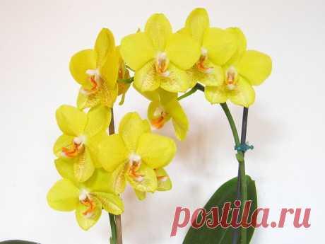 И ваша орхидея будет цвести круглый год. 7 важных секретов по уходу за орхидеями