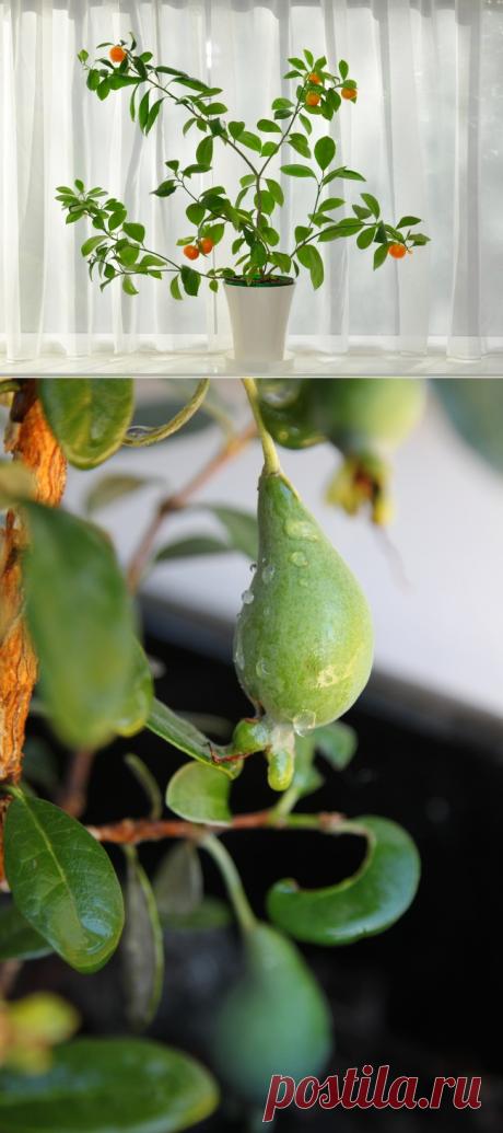 Какие фрукты можно вырастить в квартире — 6 соток