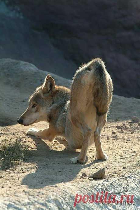 Волчья поза йоги 2352, , basik.ru