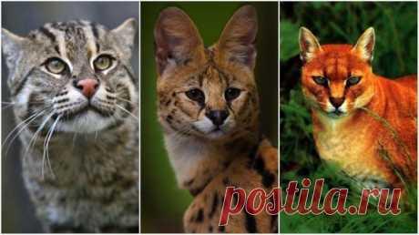 Дикие кошки, о которых мало кто знает