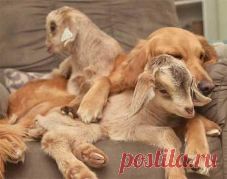 Собака уверена, что она – мать спасенных козлят!