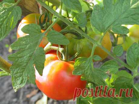"""How to receive a harvest of tomatoes, top dressing, watering and leaving\"""" the Female World"""