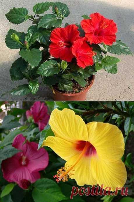 Гибискус - комнатное растение /описание, полезные свойства/