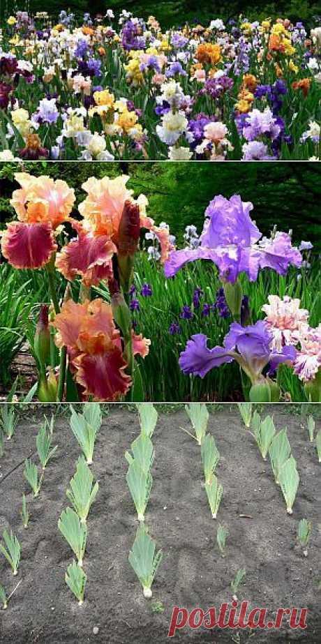 El cuidado de los iris después del florecimiento: los rasgos del transbordo - el Revista femenina LadySpecial.ru