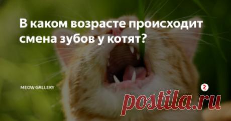 В каком возрасте происходит смена зубов у котят? Смена зубов у котят - процесс естественный, и многие животные переносят его нормально. Иногда котятам не обойтись без помощи хозяина, в этом случае человеку стоит обратиться к ветеринару. Врач осмотрит рот животного и даст рекомендации по его лечению. Когда происходит смена зубов? Рождаются котята без зубов.Затем, через несколько недель начинают резаться первые зубки: сначала резцы, потом клыки, а