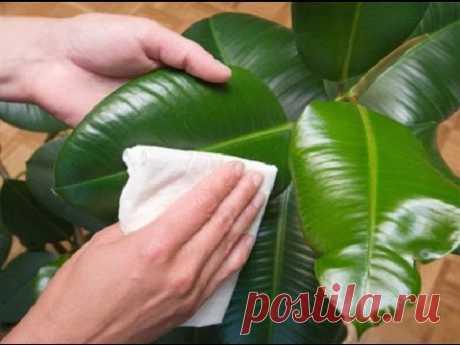 Как самому сделать полироль для комнатных растений - YouTube