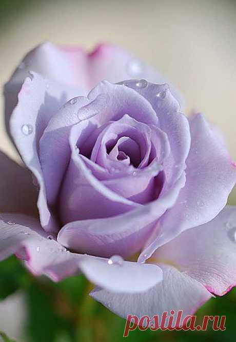 Фото фиолетовой розы