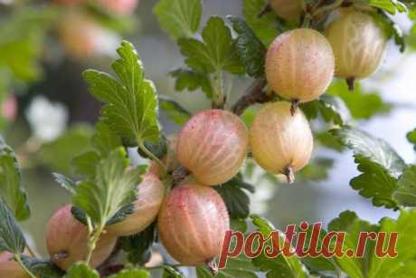 Cultivation of a gooseberry without chemistry: landing, watering, top dressing