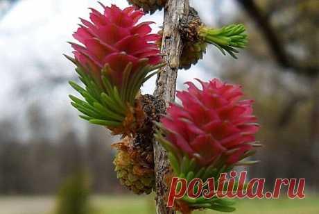 цветёт СОСНА в Якутии... цветёт кедровая сосна раз в 100 лет..   -----