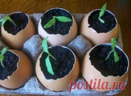 Выращивание рассады в яичной скорлупе | Блог elisheva.ru