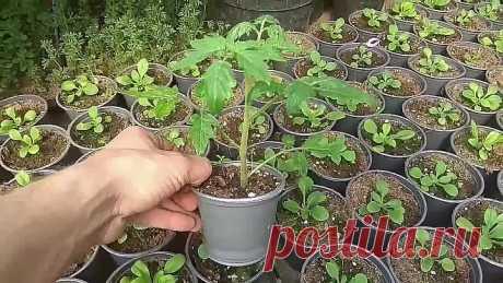 Толстая и низкая рассада томатов. Что для этого нужно?