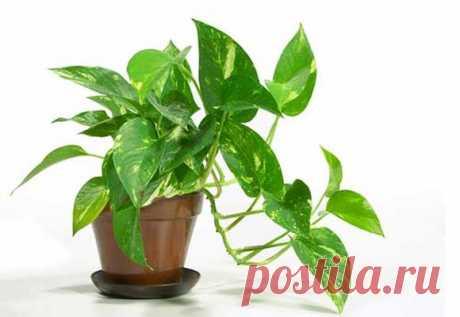 Основные правила ухода за комнатным растением сциндапсусом (цветком мужегоном) в домашних условиях