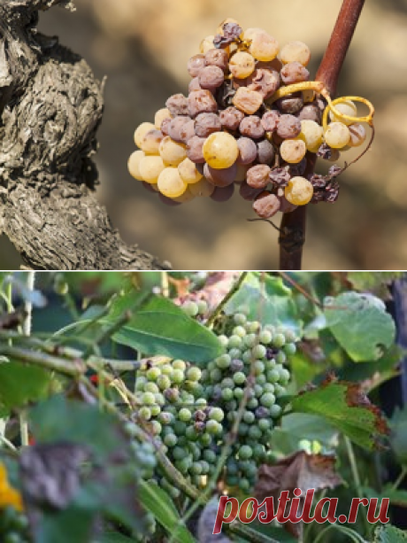 Як контролювати оїдіум – одну із найнебезпечніших хвороб винограду | Аптека садівника