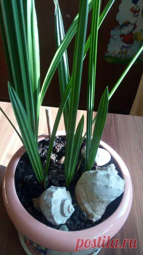 Как вырастить пальму из косточки и не погубить ее | Идеальный сад | Яндекс Дзен