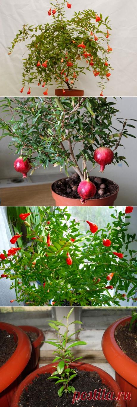 Гранат комнатный. Уход и размножение. Обрезка и пересадка граната - Комнатные растения и садовые цветы