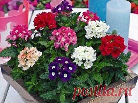 Какие цветы надо сеять на рассаду уже в январе Основная часть цветочных семян отправляется из пакетиков на проращивание в марте, однако есть в наших цветниках и те, кому требуется более ранний посев. Какие же цветы высевают на рассаду в январе и к...