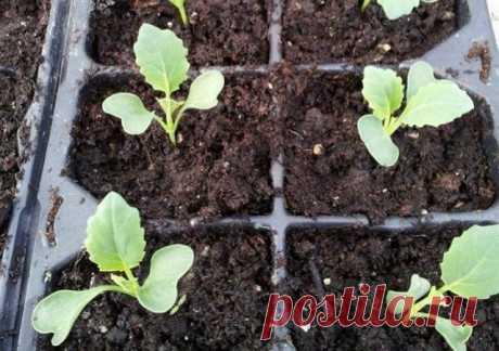 15 секретов выращивания хорошей рассады капусты   Рассада (Огород.ru)