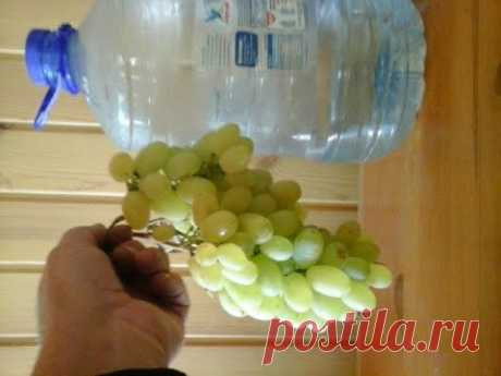 The Simplest and Available Cutting of GRAPES Superrrrr! for beginners and not only.