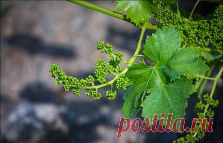 Обработка винограда весной от вредителей и болезней: сроки, правила, лучшие препараты