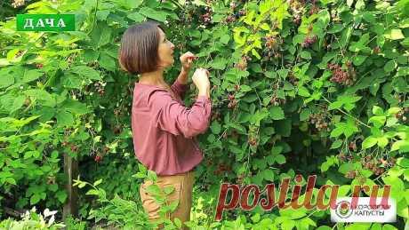 ЕЖЕВИКА - посадка, обрезка, уход__Все секреты большого урожая