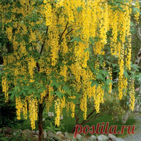 16 маленьких деревьев, которые добавят тонну цветов в ваш сад   Школа Цветоводства   Яндекс Дзен