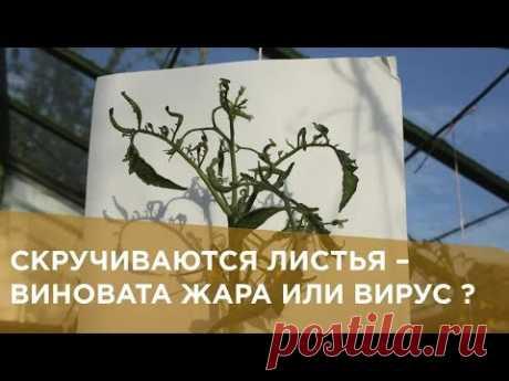 Скручиваются листья у томатов - виновата жара или вирус
