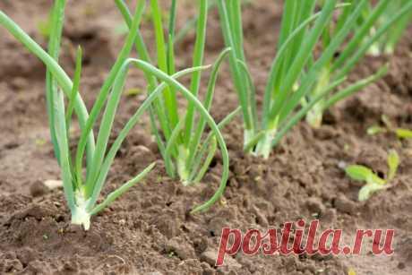 Секреты выращивания «зимнего» лука