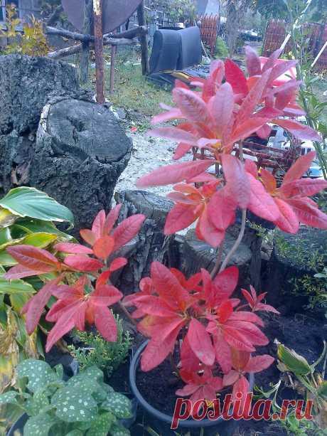 "Азалия садовая, рододендрон листопадный Rhododendron ""Anneke"" 19.10.2017"
