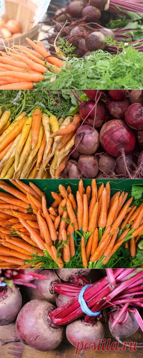 Когда убирать морковь и свеклу с грядки чтобы сохранить на зиму