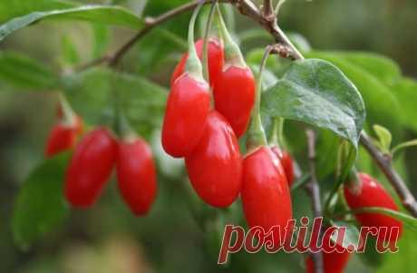 Посадка и уход ягоды годжи на своем дачном участке | Domosedkam.ru