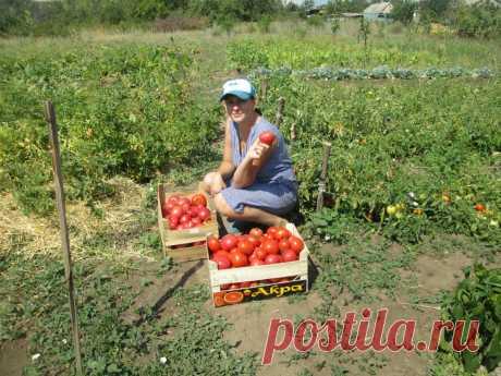У меня успевает вызреть каждый помидорчик. Весь фокус в правильной подкормке. Рассказываю как и чем удобряю   Садовый рай 🌱   Яндекс Дзен