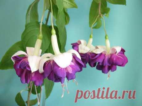 Уход за фуксией Фуксия известна цветоводам как очаровательное растение с цветочками, которые называют кто «китайскими фонариками», кто «балеринками», очень популярное и неприхотливое растение. А ведь этот комнатный ц...