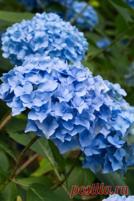 Как подсинить соцветия крупнолистной гортензии