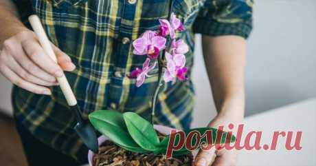 Необычный полив: Орхидеи цветут по несколько раз Все, у кого были орхидеи, знают – они очень привередливы и капризны в уходе.А ведь при правильном подходе от этого цветка можно даже добиться повторного цветения.А некоторые виды и вовсе могут цвести целый год.  Все, что нужно – создать способствующие этому факторы и соблюдать определенный режим