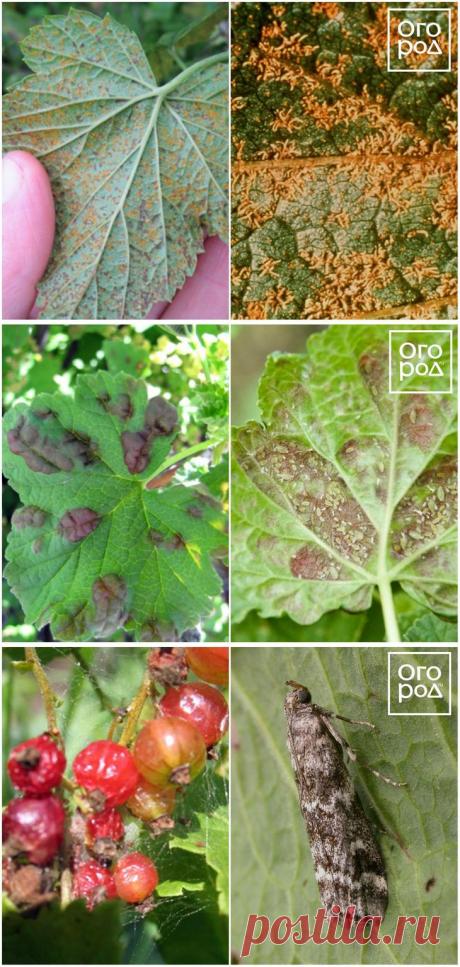 Болезни и вредители смородины – фото, описание, чем обработать кусты
