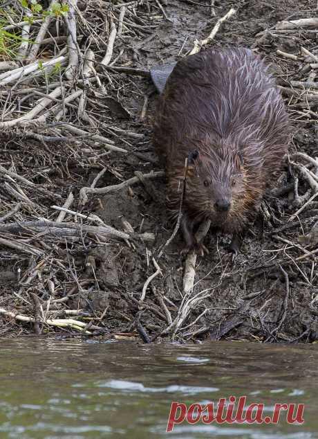 Бобры полуводные животные. Как они живут и чем питаются? У них даже есть своё занятие – строительство плотин. Их вклад в развитие экосистемы.