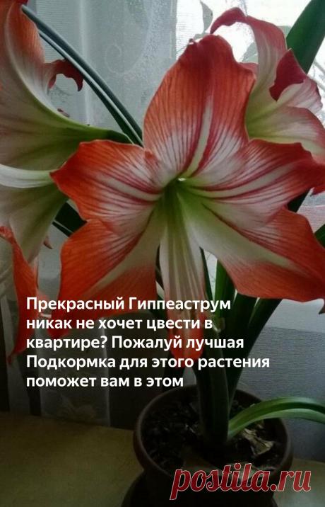 Прекрасный Гиппеаструм никак не хочет цвести в квартире? Пожалуй лучшая Подкормка для этого растения поможет вам в этом   Все о цветоводстве   Яндекс Дзен