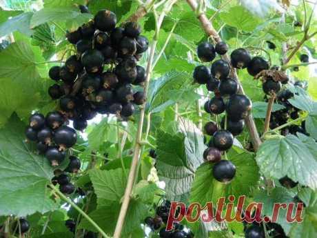Лучшие сорта чёрной смородины