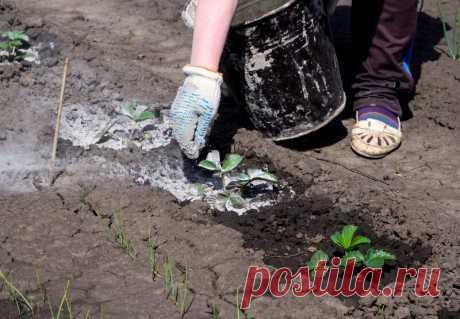 """Использование золы на приусадебном участке: 4 варианта   Журнал """"JK"""" Джей Кей Древесная зола считается традиционным органическим удобрением. Огородники не обходят ее вниманием и сегодня, ведь она содержит в себе массу полезных"""