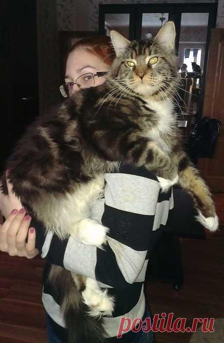 Производитель нашего питомника кот мейн-кун, Макар, вес 10,5 кг., возраст 1,5 лет.