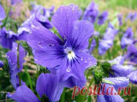 How to grow up a forest violet and than it is useful